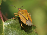 Purpurbärfis - Carpocoris purpureipennis - Black-shouldered Shieldbug