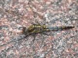 Större sjötrollslända (hona) - Orthetrum cancellatum - Black-tailed Skimmer (female)