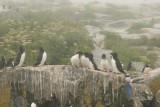 Razorbills
