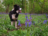 Lady  posing  in  a  bluebell  wood.