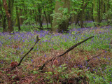 Bluebells  carpeting  the  forest  floor.