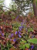 Bluebells  in  a  forest  glade.