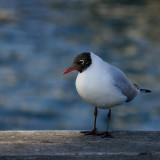 L. ridibundus (black-headed Gull)
