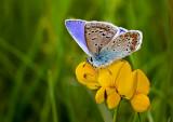 Polyommatus icarus_3602.jpg