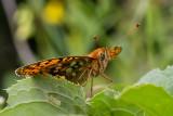 Der Kaisermantel (argynnis paphia)_5595.jpg