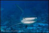 Reef shark closer