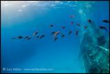 Kittewake squid
