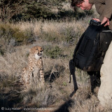 Naughty Cheetah ate his camera bag