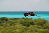frigate bird in flight 2