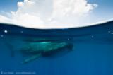 Whaleshark AAB2755