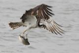 Balbuzard -- Osprey