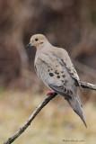Tourterelle triste -- _E5H2637 -- Mourning Dove