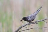 Guifette noire -- _E5H3088 -- Black Tern