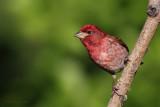 Roselin pourpré / Purple Finch