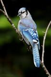 Geai bleu -- _E5H4266 -- Blue Jay