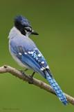 Geai bleu -- Blue Jay -- _E5H4316