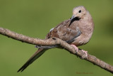 Tourterelle triste --- _E5H4338 --- Mourning Dove