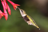 Colibri à gorge rubis -- _E5H5381 -- Ruby-throated Hummingbird