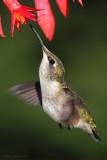 Colibri à gorge rubis -- _E5H5437 -- Ruby-throated Hummingbird