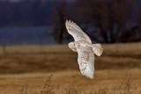 Harfang des neiges -- _Z0U9769 -- Snowy Owl
