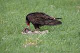 Urubu à tête rouge -- _E0K0888 -- Turkey Vulture