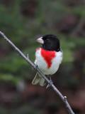 Cardinal à poitrine rose -- _E5H2787 -- Rose-breasted Grosbeak