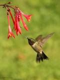 Colibri à gorge rubis -- _E5H1030 -- Ruby-throated Hummingbird