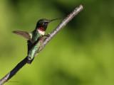 Colibri à gorge rubis -- _E5H0863 -- Ruby-throated Hummingbird