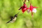 Colibri à gorge rubis -- _E5H0875 -- Ruby-throated Hummingbird
