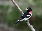 Cardinal à poitrine rose -- _E5H2181 -- Rose-breasted Grosbeak