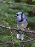 Geai bleu -- _E5H2082 -- Blue Jay