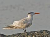 Sterne royale -- _E5H3863 -- Royal Tern