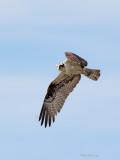 Balbuzard -- _E5H3259 -- Osprey