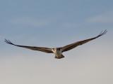 Balbuzard -- _E5H3497 -- Osprey