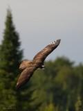 Balbuzard -- _E5H3457 -- Osprey