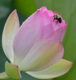 The World of the Lotus
