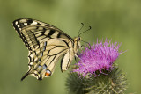 Common Swallowtail  -Koninginnepage