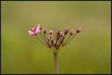 Flowering Rush - Zwanenbloem