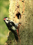 Great Spotted Woodpecker-Grote bonte specht