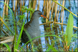 Water rail- Wateral