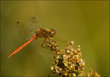 Bruinrode heidelibel-Common Darter-3384