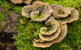 Turkey Tail  - Elfenbankje 4993