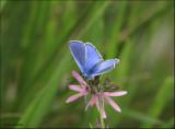 Silver Studded Blue - Heideblauwtje  7205