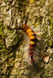 Rusty Tussock Moth - Witvlakvlinder  9976