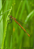 Large red damselfly - Vuurjuffer 6532