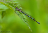 Variable Damselfly - Variabele Waterjuffer 3780