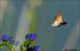 Hummingbird Hawk-moth - Kolibrievlinder_P4B5577.jpg