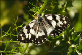 Marbled White - Dambordje_MG_4472