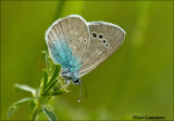 Green-underside Blue - Bloemenblauwtje MG_4868