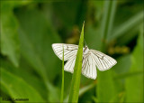 Black veined moth - Vals witje_MG_4212